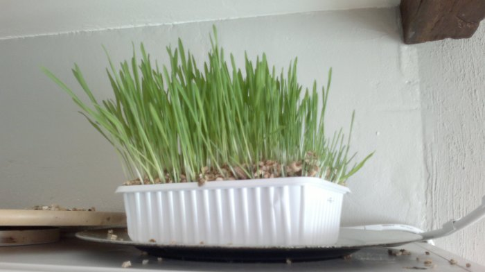 Indoor cat grass kit growth - day 5