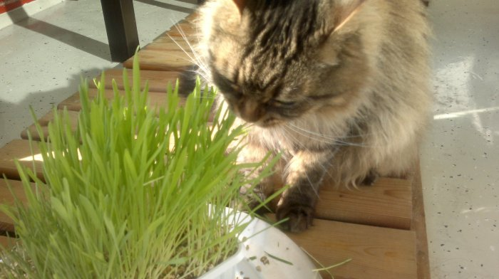 Tiguinho enjoying the cat grass kit