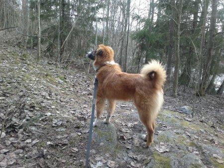 Lukas walking outdoors on a 3 meters long leash