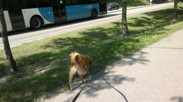 Lukas searching the treat while a buss passes by